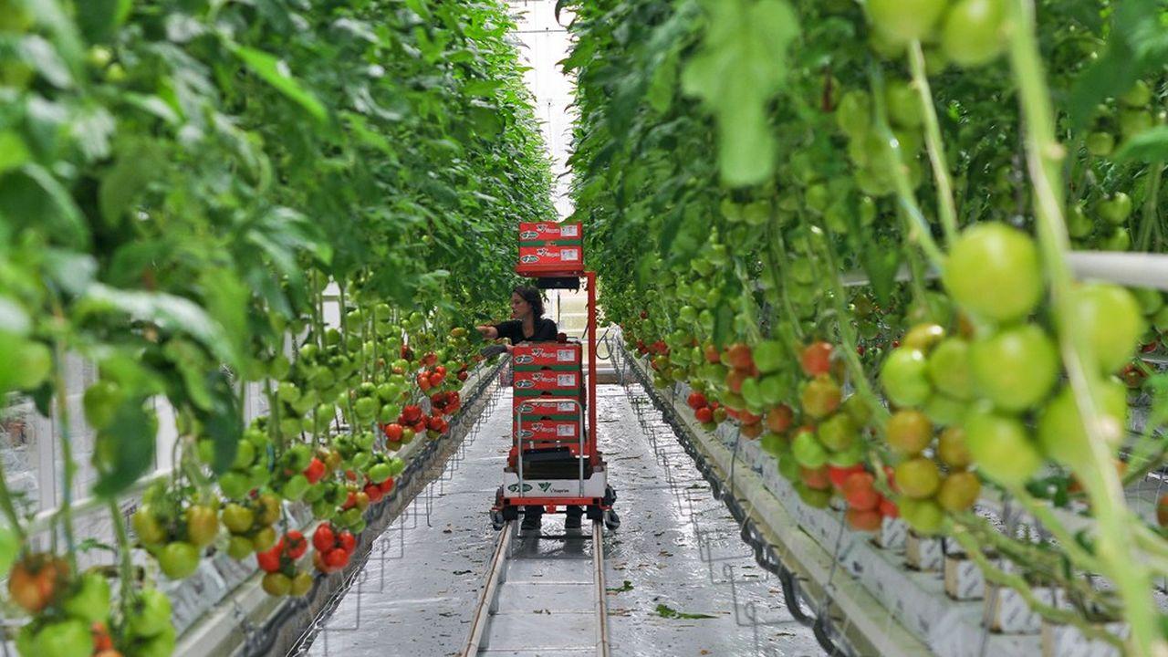 En France un millier de producteurs, surtout présents dans l'Ouest et le sud, fournissent 550.000 tonnes soit près de 60% des tomates consommées en France.