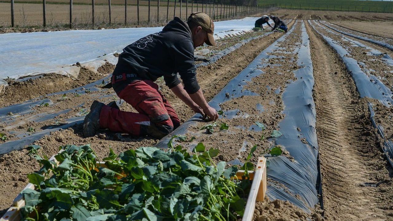 Près d'un quart de million de Français a entendu l'appel à rejoindre «la grande armée de l'agriculture aux hommes et aux femmes n'ayant plus d'activité» lancé par Didier Guillaume, le ministre de l'Agriculture.