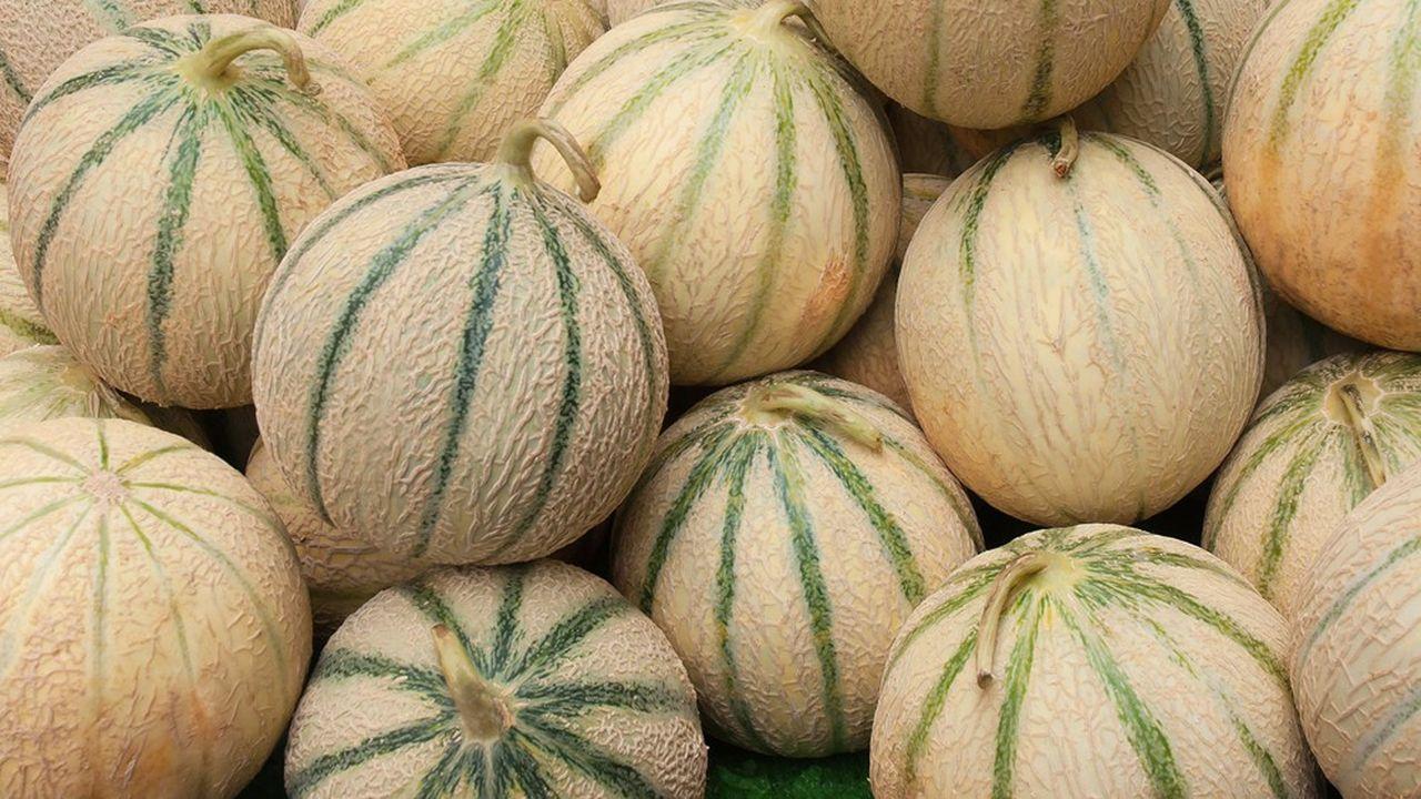 En 2019, Force Sud a produit 21.000 tonnes de melons.Grâce à Rouge Gorge, il espère ajouter 2.000 tonnes dès 2020.