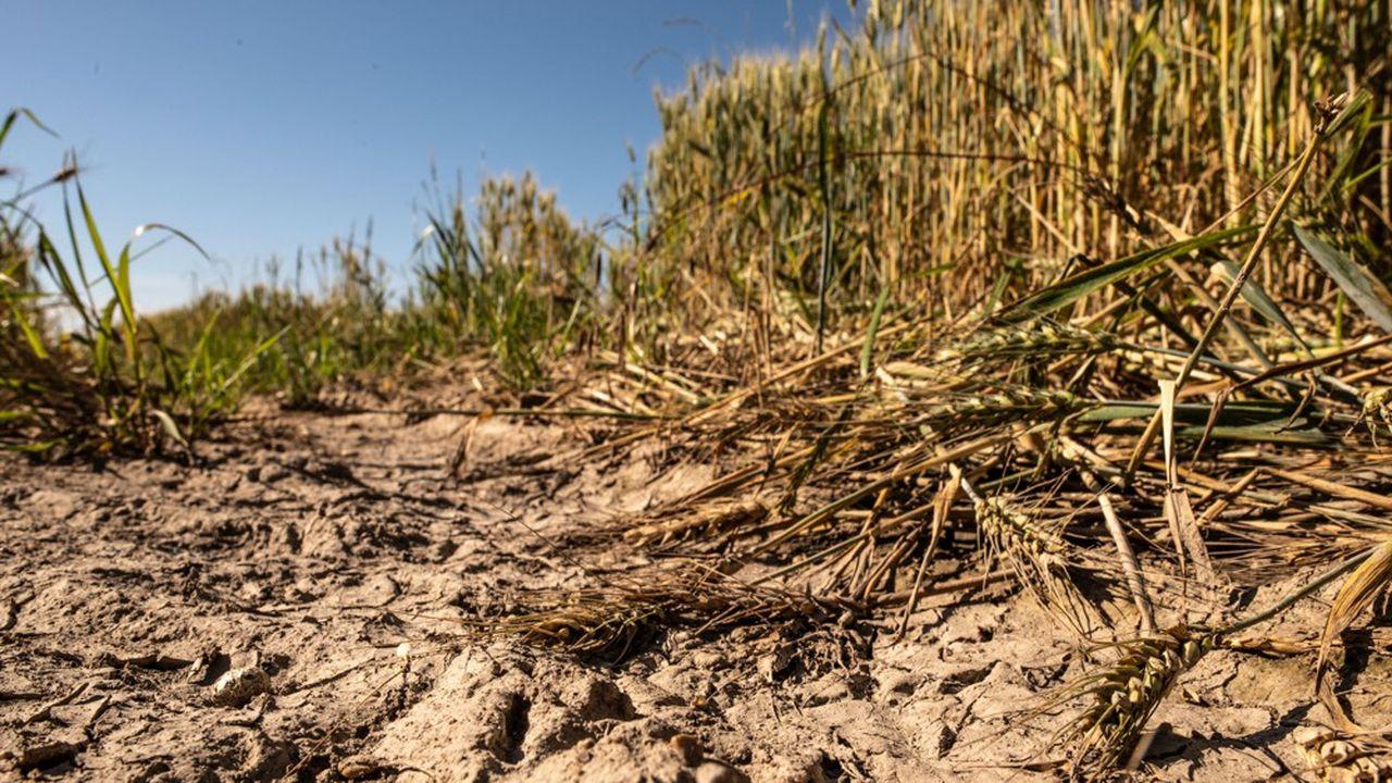 Un champ de blé près d'Orléans. En France, mi-avril, seulement 61% des blés étaient en bonnes ou très bonnes conditions.