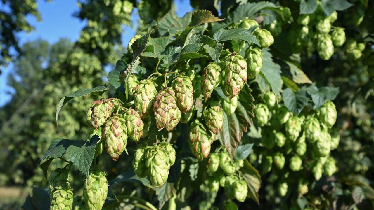 Le houblon, dont la récolte commence à partir de la fin août, apporte amertume et arômes à la bière.