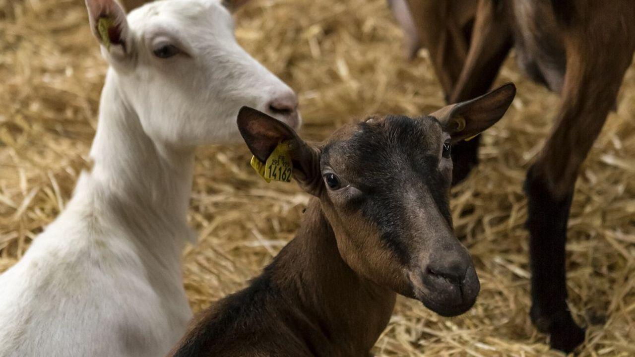 Les conditions climatiques ont favorisé une forte production de lait.