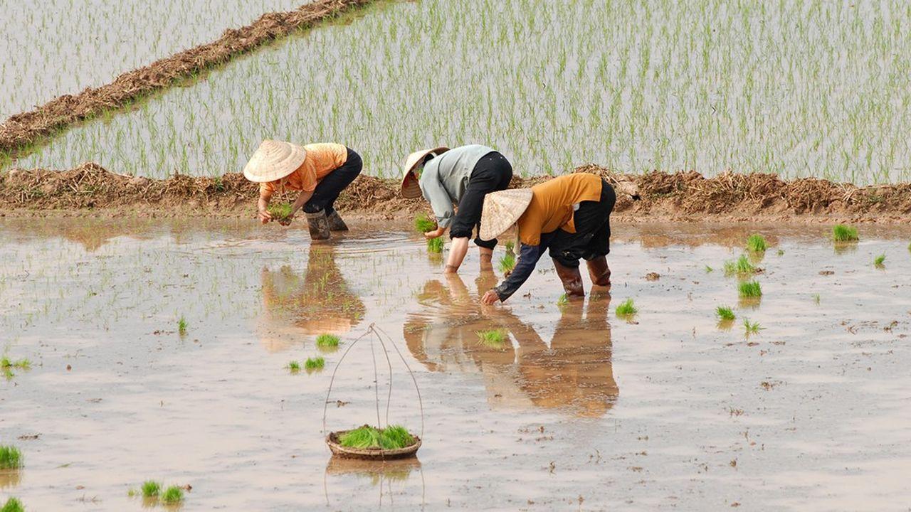 Le Vietnam et le Cambodge ont restreint leurs exportations de riz, préférant le stocker dans cette période incertaine.