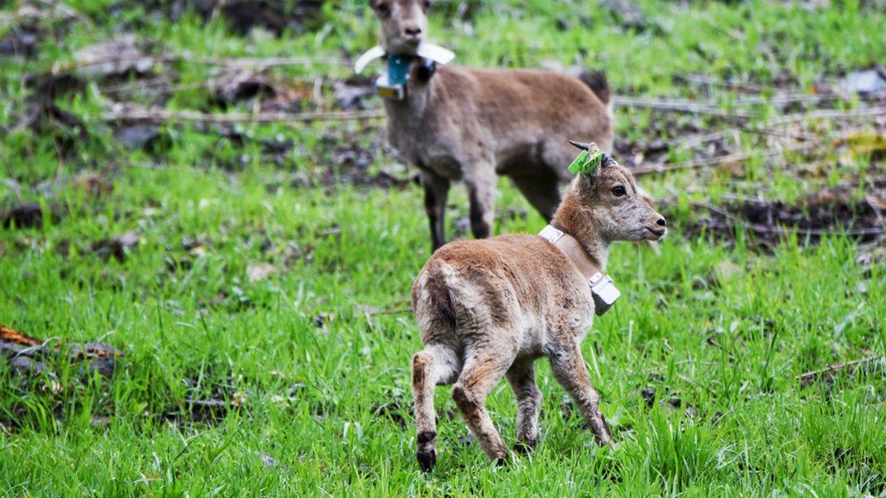 Entre2012 et2018, quelque 476 de ces bovidés sauvages ont été abattus sur le massif du Bargy.
