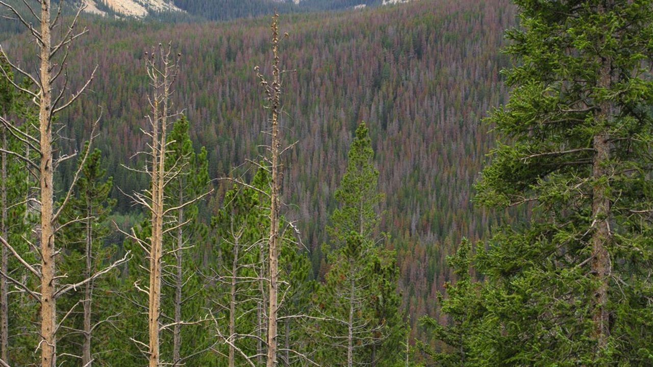 Les scolytes sont des parasites qui tuent les arbres en un mois. Ils s'attaquent essentiellement aux résineux du quart nord-est de la France, pas aux feuillus hormis le frêne.