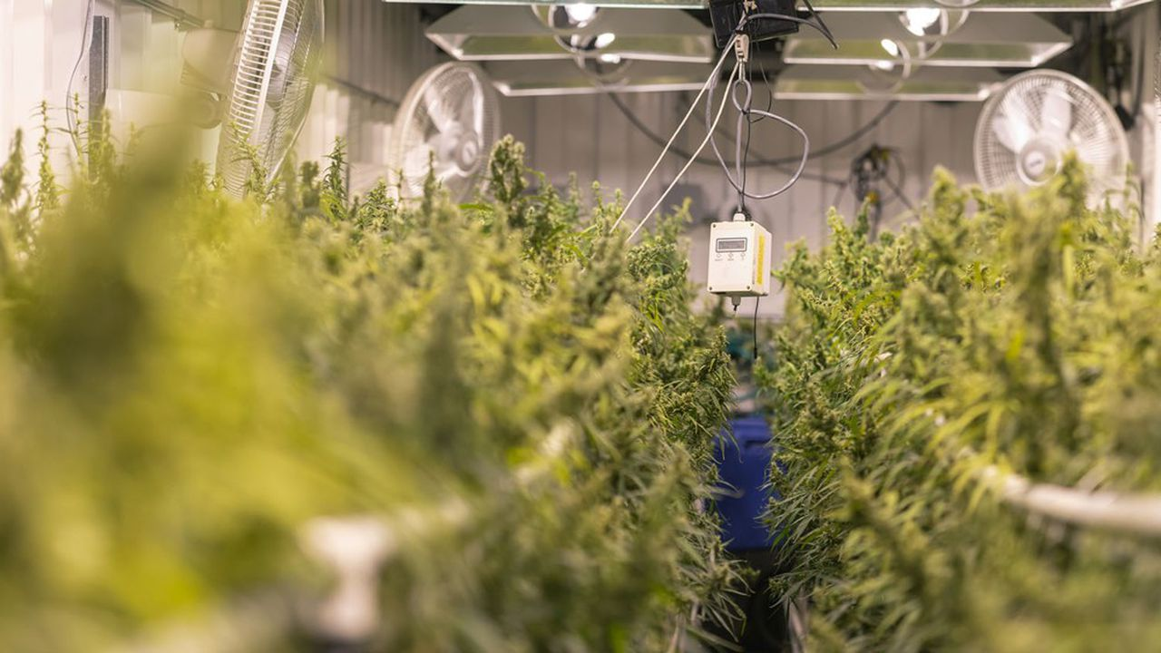 Dans une ferme d'intérieur, des plants de cannabis destinés à de la vente légale après transformation.