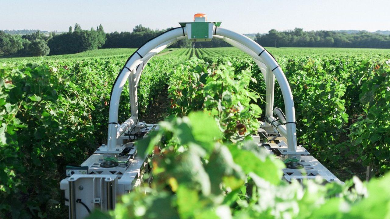 Les robots aident à nettoyer les vignes pour éviter que l'herbe pousse.