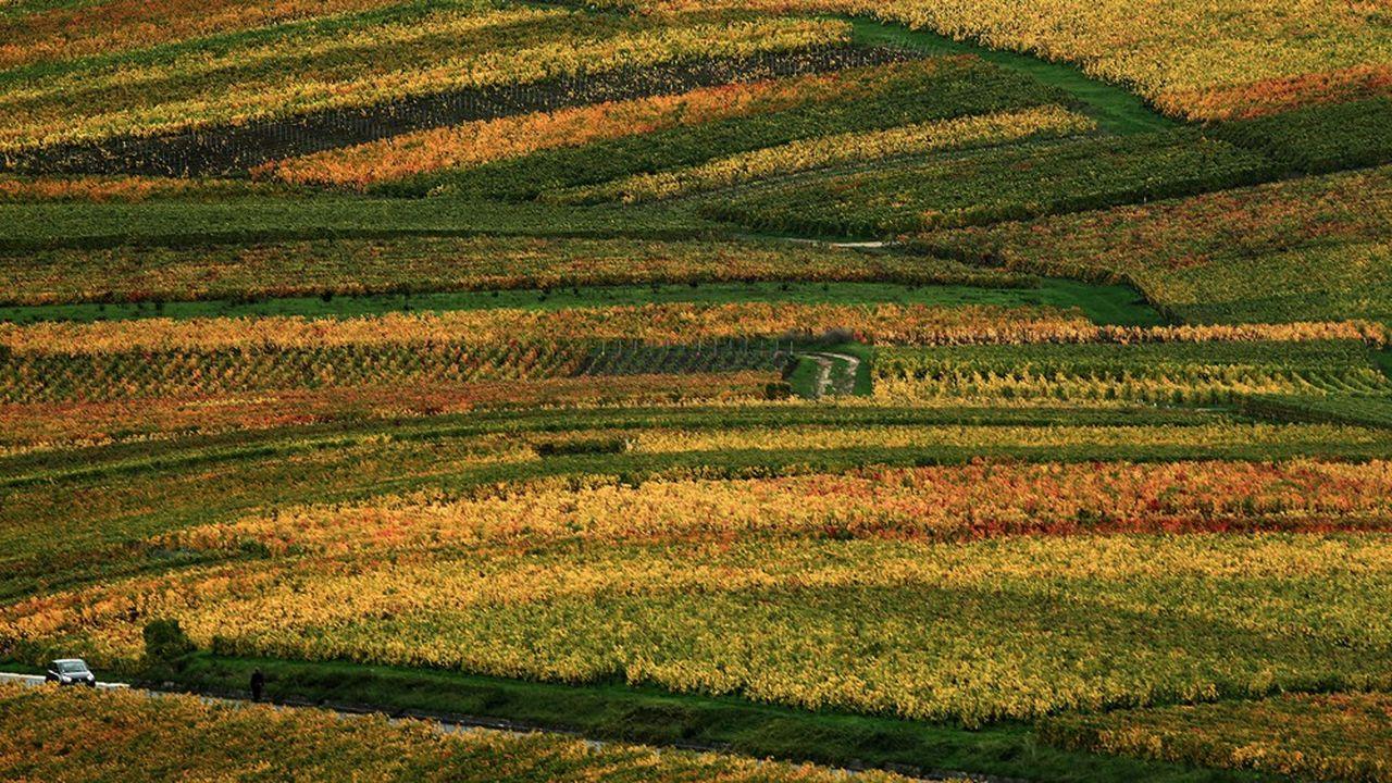 Vignoble de Champagne à l'automne, près de Ville-Dommange (Marne), à quelques kilomètres de Reims.