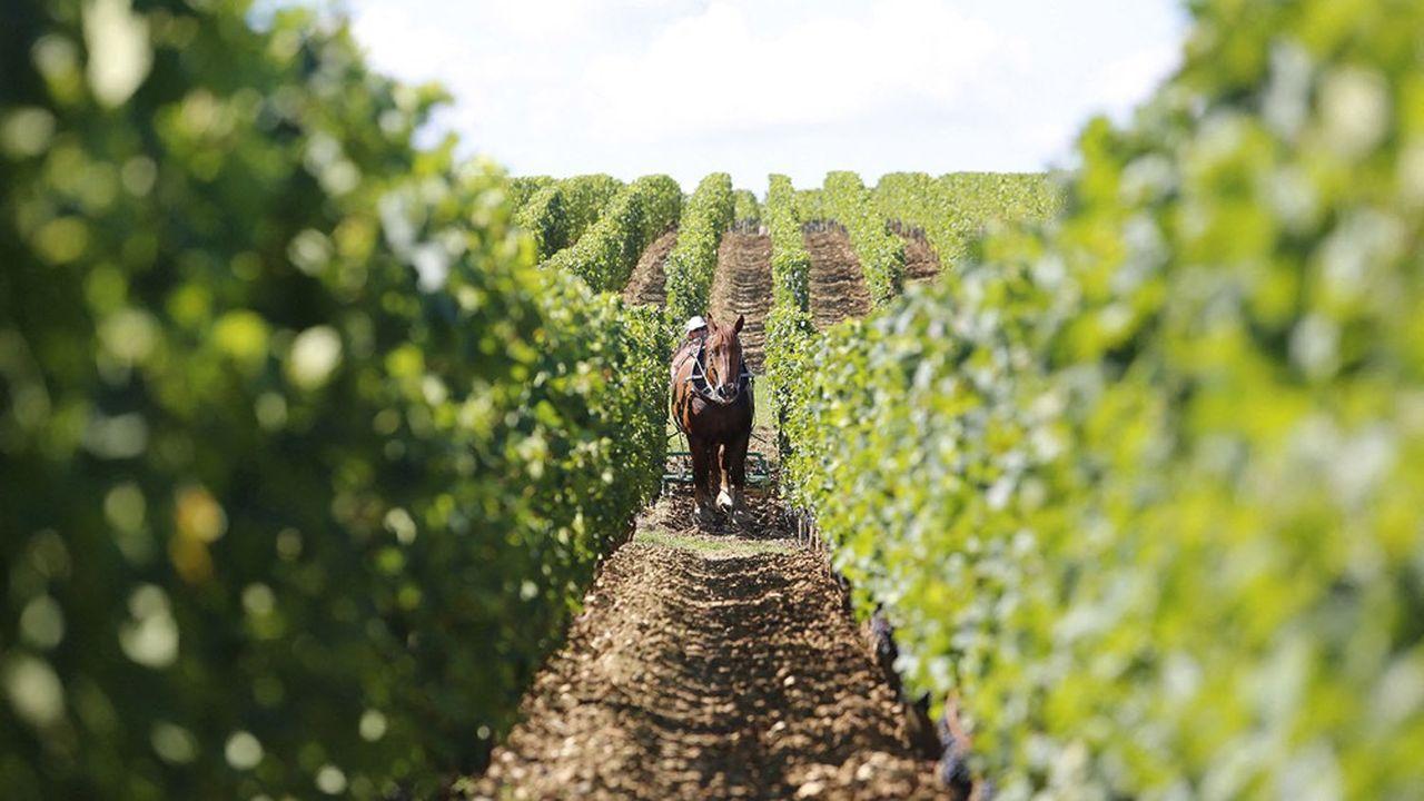 Travail des sols avec un cheval de trait en vignes bio, dans le Bordelais.