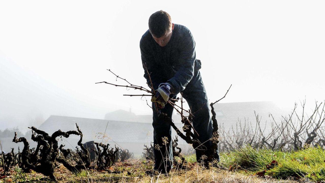C'est l'observation de la plante et la physiologie de la vigne qui dessinent la future taille.