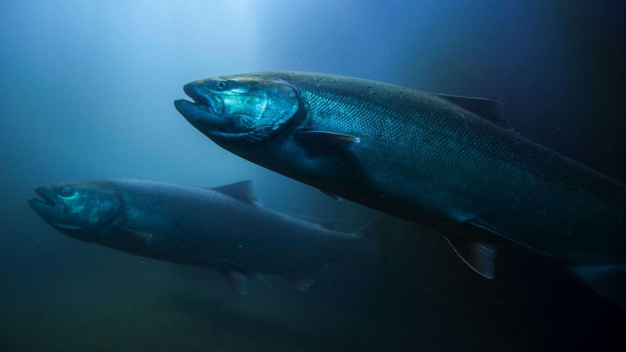 De grandes chaînes de supermarchés, dont Wumart ou Carrefour, ont supprimé le saumon de leurs étals.