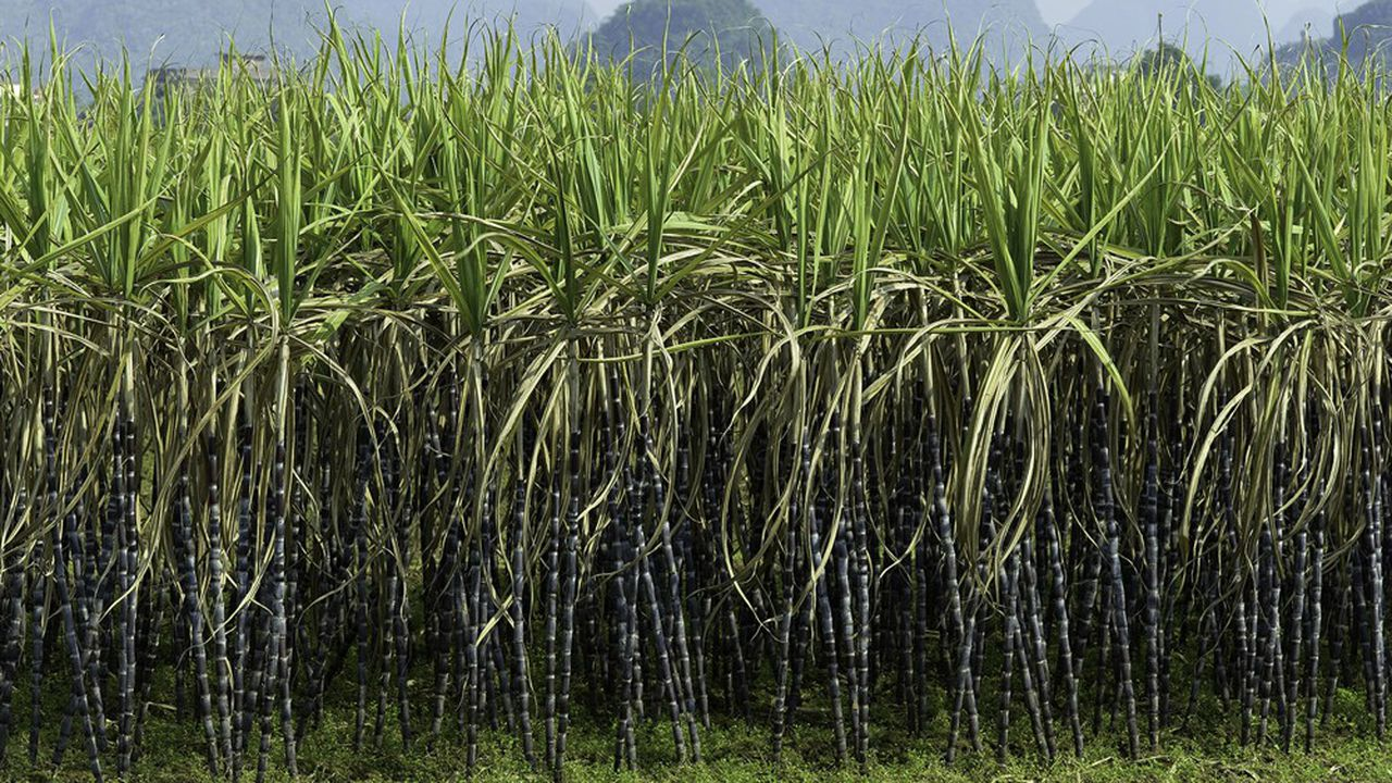 Un champ de canne à sucre.
