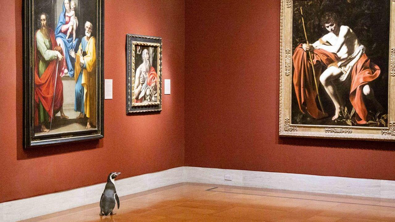 Un pingouin du zoo de Kansas City visite le Nelson-Atkins Museum of Art, pendant la période de confinement. La vidéo de sa déambulation a été vue plus de 1milliard de fois sur le Net.
