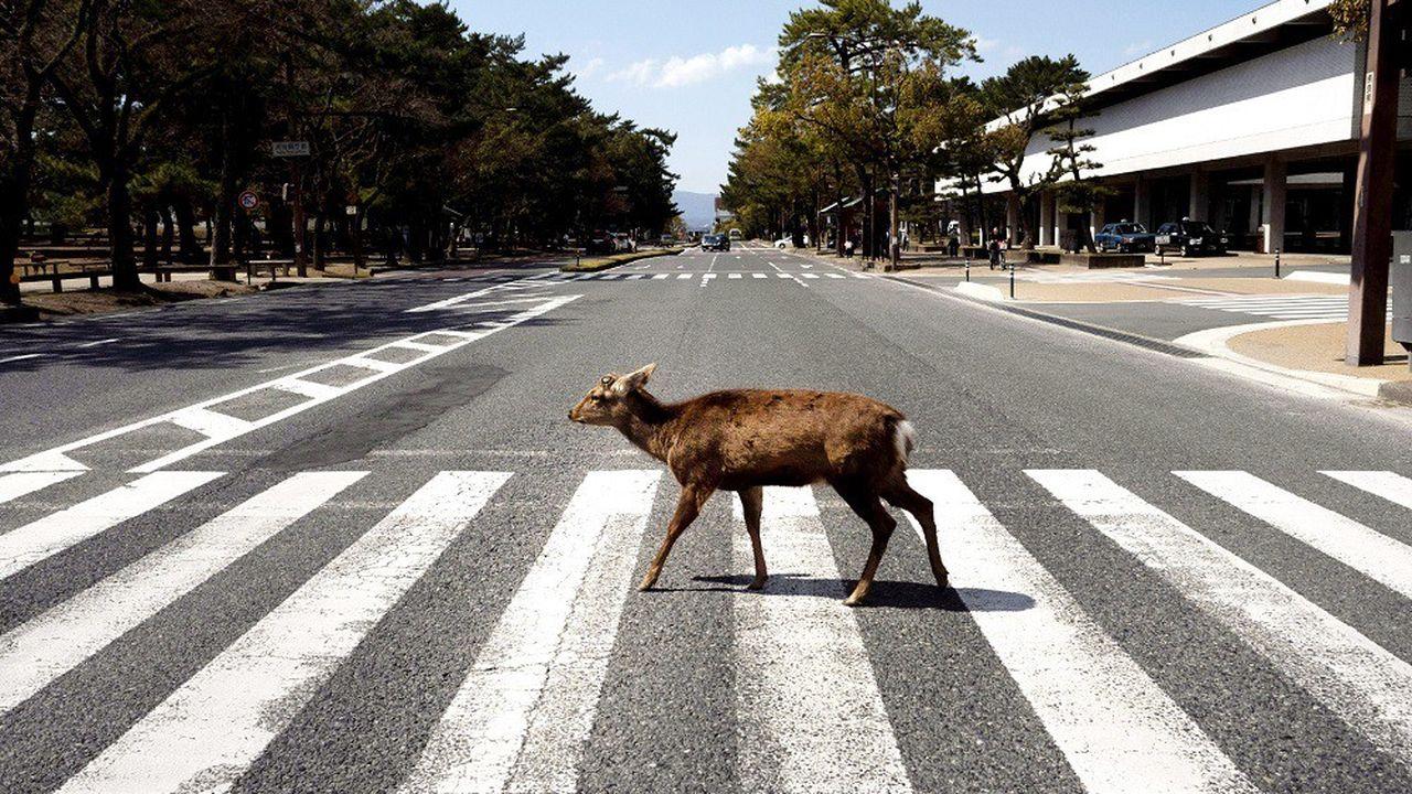 Des cerfs ont été vus en pleine ville au Japon durant le confinement.