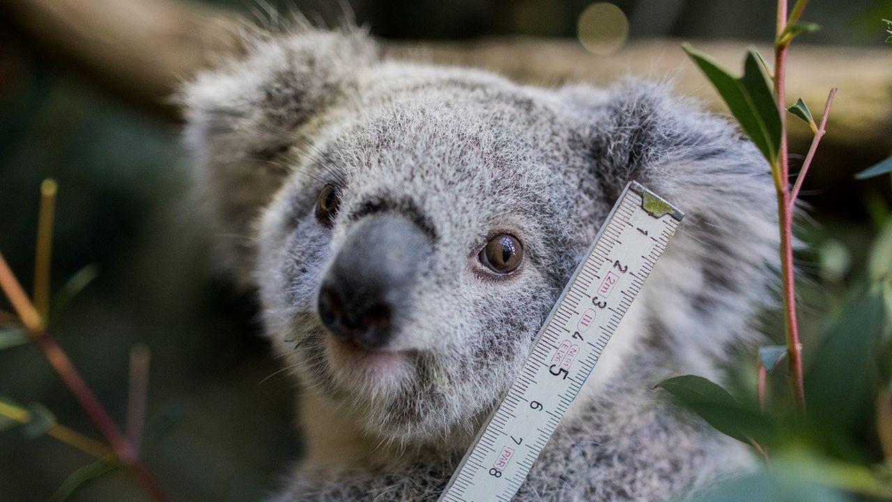 Australie : l'inquiétant rapport sur l'avenir du koala