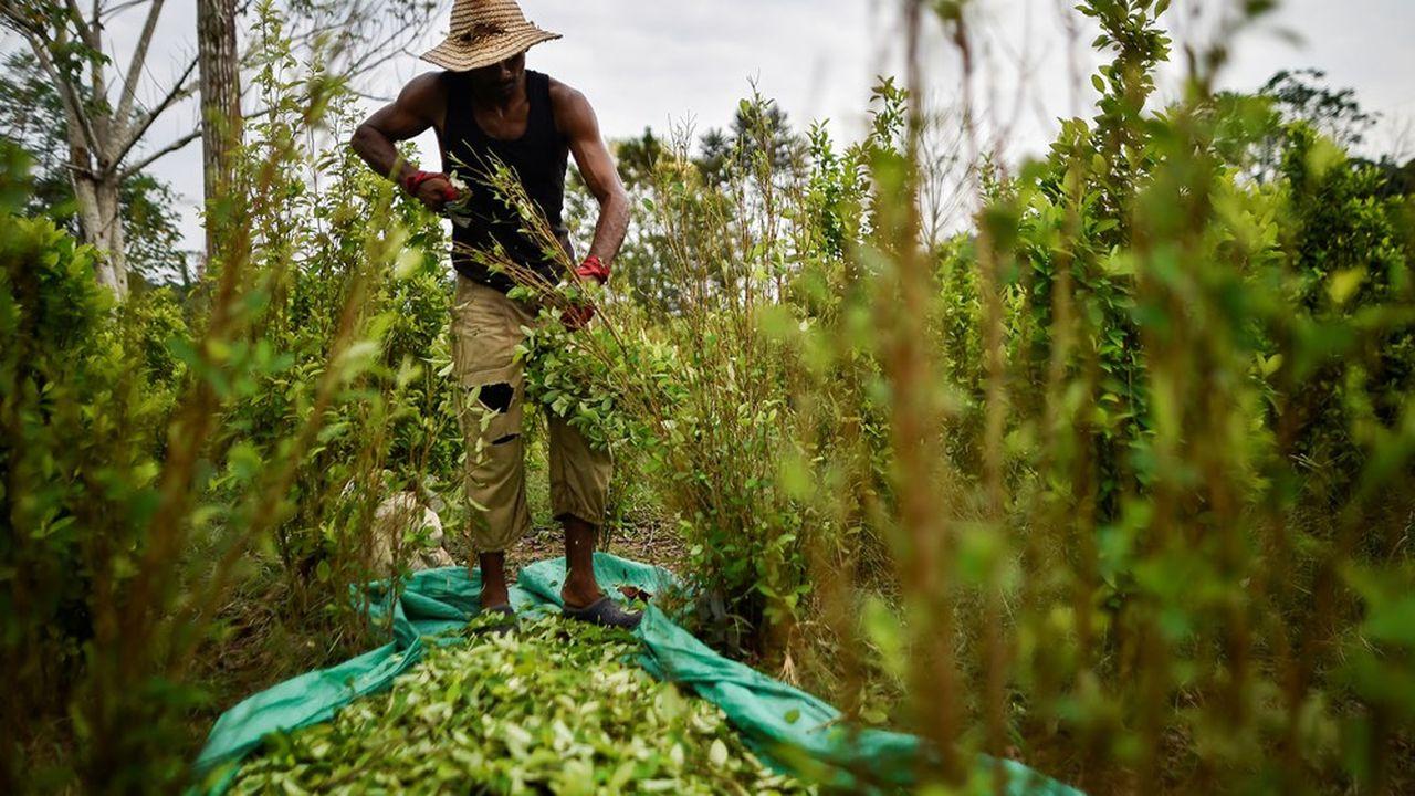 Beaucoup de pays en Amérique latine sont producteurs de coca, notamment en Colombie où les surfaces plantées ont fortement augmenté ces dernières années.