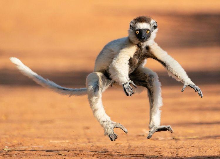Le sifaka est désormais en danger critique d'extinction.
