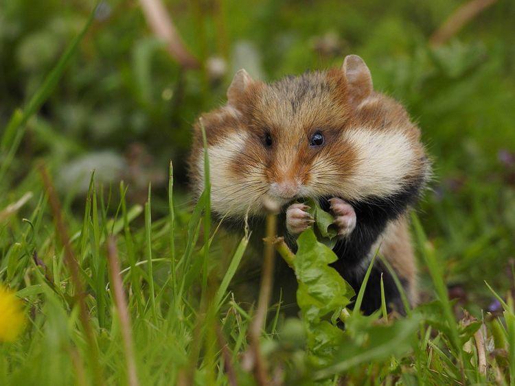 Le hamster d'Europe est en danger d'extinction.