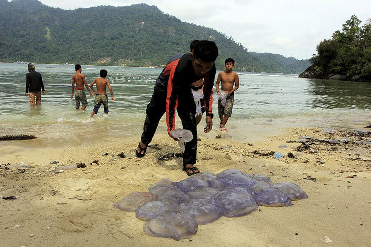 Des centaines de méduses mortes sont ramassées sur une plage de Sumatra (Indonésie) en août dernier, au grand dam des pêcheurs et des professionnels du tourisme.