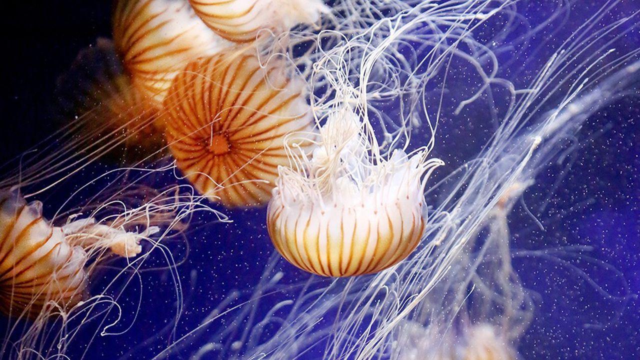 Spécimens de Chrysaora quinquecirrha dans un aquarium du zoo de Duisbourg en Allemagne. Il existe près de 3500 espèces de méduses répertoriées dans le monde.