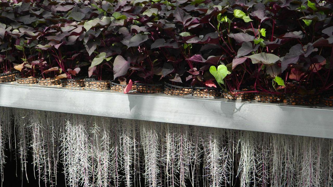 A Laronxe, en Meurthe-et-Moselle, une vingtaine d'espèces de plantes croissent à un mètre au-dessus du sol, leurs racines baignant dans un bac.