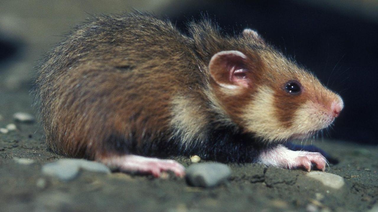 Photo prise le 1er août 1999 d'un grand hamster d'Alsace sortant de son terrier près de Blaesheim dans le Bas-Rhin.