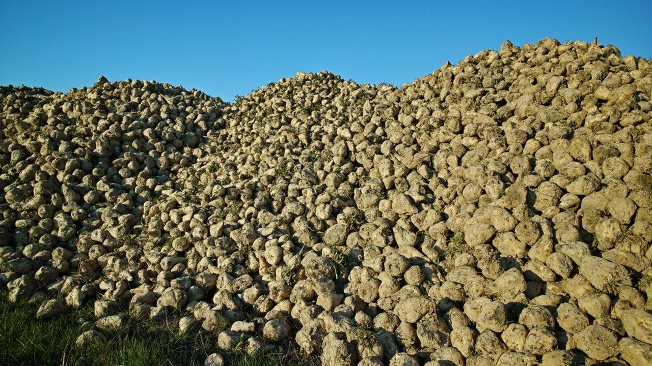 Les tas de betteraves à sucre françaises seront sensiblement moins élevés en 2020 qu'en 2019 (ici dans la Marne), du fait de l'attaque subie d'un puceron vert sur les cultures.