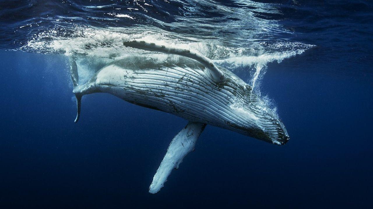 Dans les zones tropicales, où les variations de températures de la mer sont faibles, des espèces parcourent 2.000 kilomètres pour retrouver un habitat qui leur convient.
