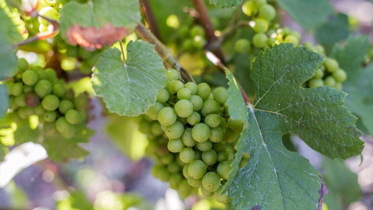 Le volume des récoltes de raisins en 2020 sera ramené à 8.000kg par hectare contre 10.200kg l'an dernier.