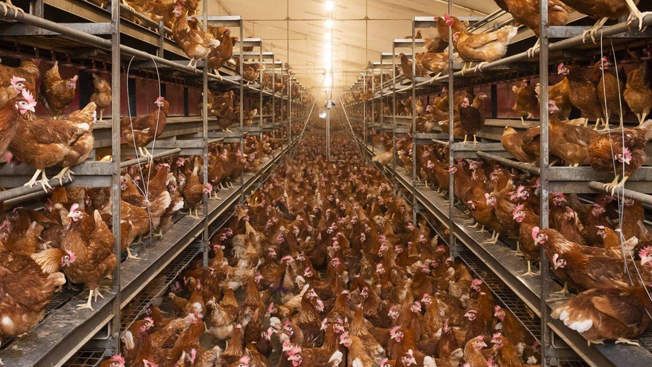 A 91%, les Français estiment qu'il faut imposer à tous les types d'élevage l'aménagement d'un accès extérieur, une des mesures défendues par les partisans d'un référendum d'initiative partagée contre la maltraitance animale.