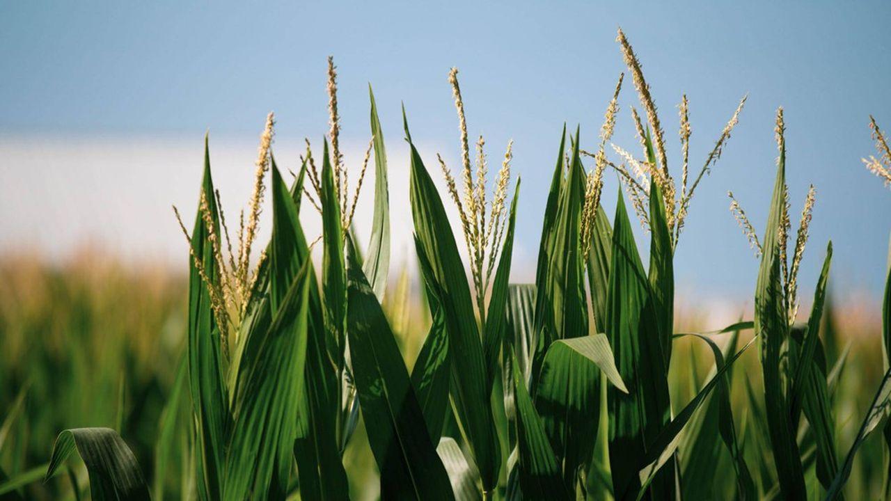 Un champ de maïs aux Etats-Unis.