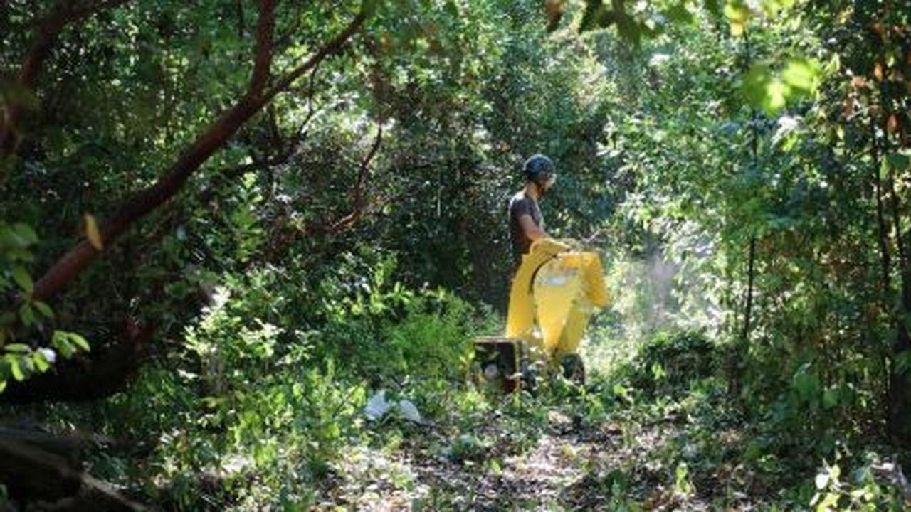 Le débroussaillage du jardin Molines a permis de mettre en évidence des arbres remarquables dont le cyprès de Lambert