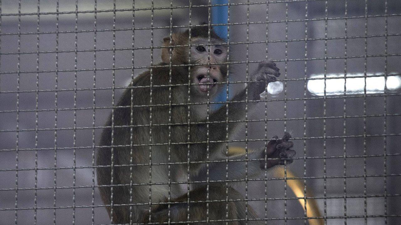Des singes sont utilisés lors des premières phases d'essais des vaccins contre le Covid-19.