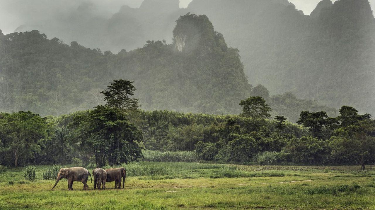 Des éléphants d'Asie dans le parc national de Khao Sok en Thaïlande, des animaux inscrits sur la liste rouge des espèces en danger d'extinction de l'UICN. Moins de 50.000 vivraient à l'état sauvage.
