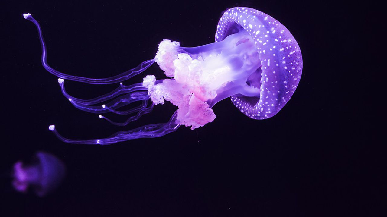 Jelly fish in the aquarium on the dark background