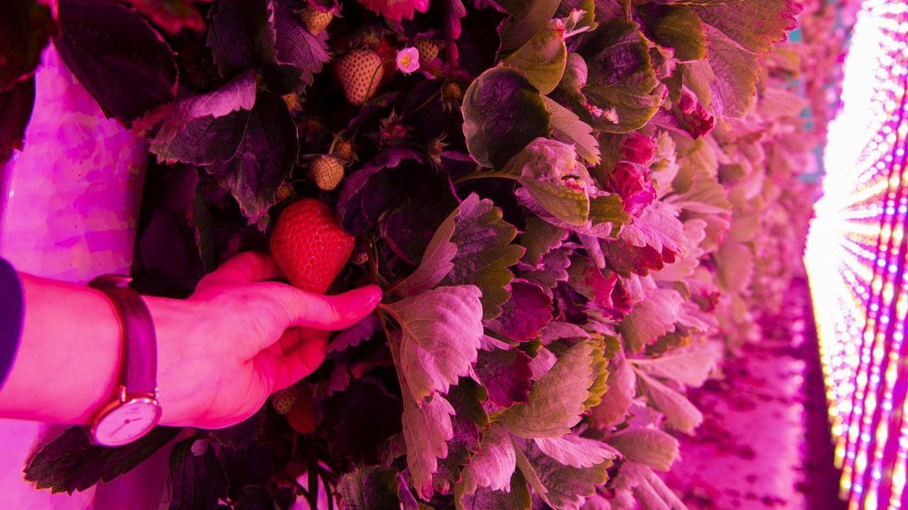 Des Cooltainers de la start-up Agricool. Ils permettent la culture verticale de fraises en ville et sans pesticides.