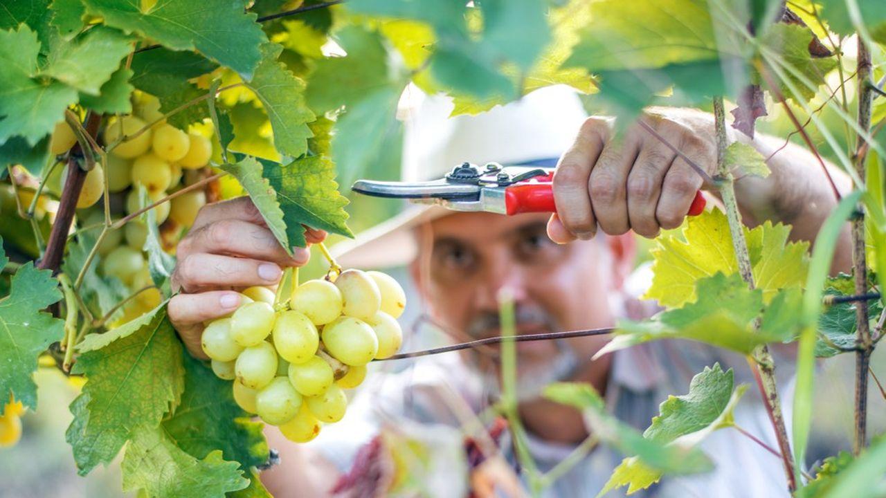 De mémoire de vigneron jamais on n'avait vendangé si tôt. Le précédent record de calendrier remonte à… 1822, où le premier coup de sécateur avait été donné le 23août, une semaine plus tard qu'en 2020.