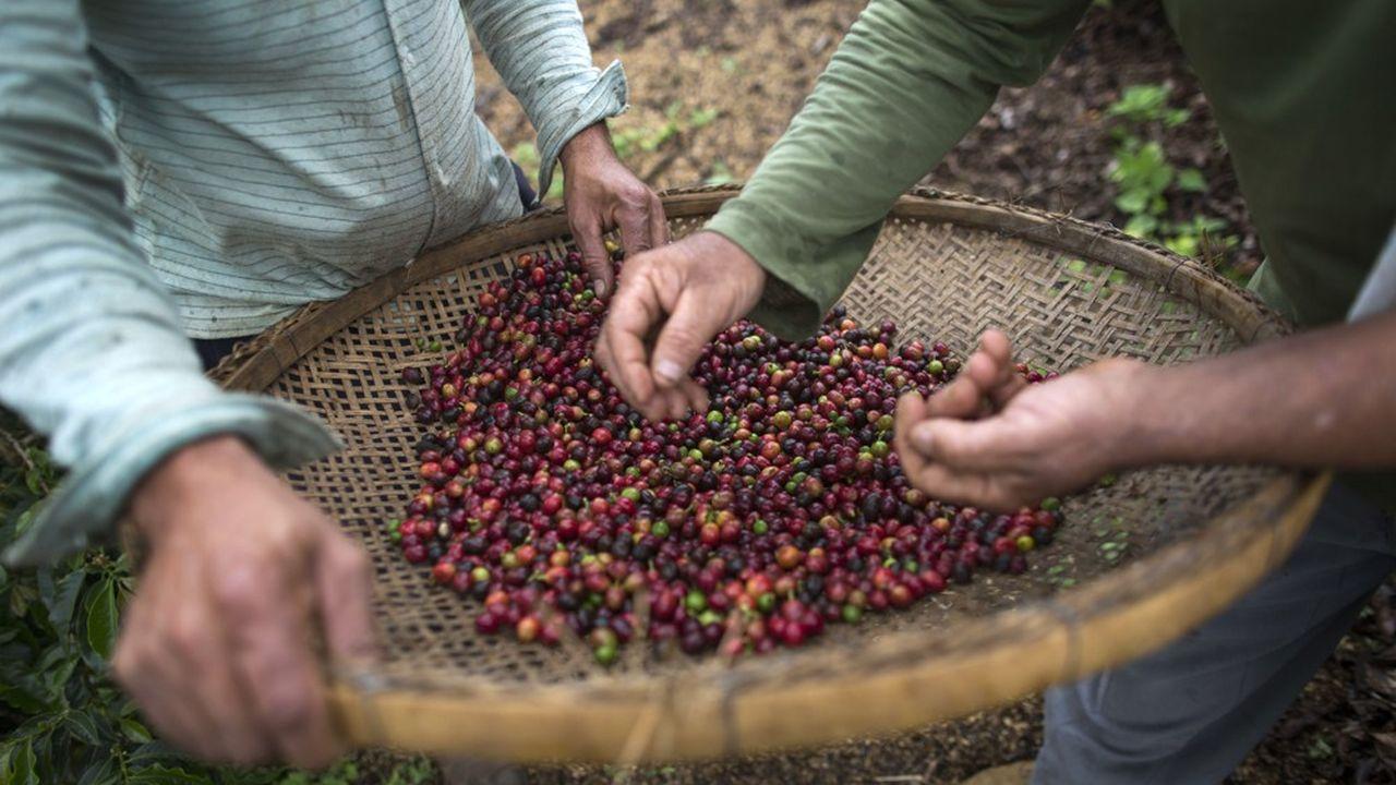 Vérification de la qualité des grains de café.