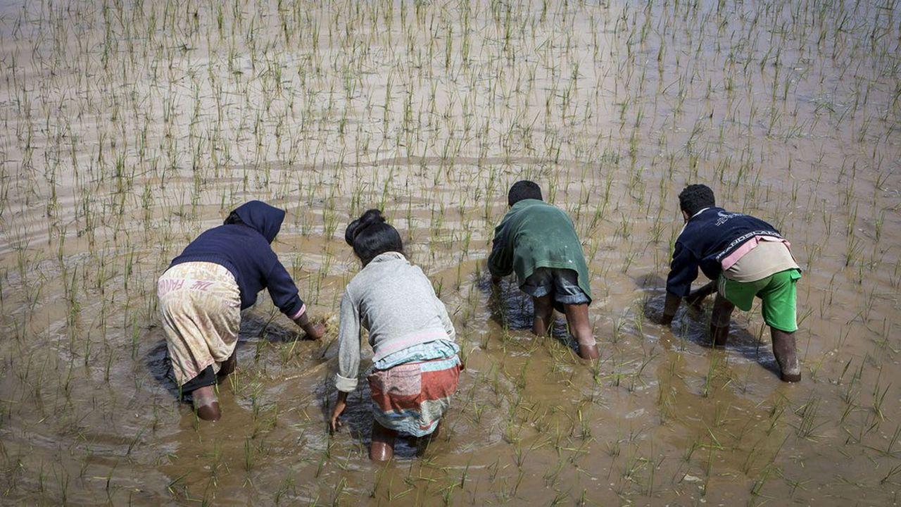 Des enfants malgaches plantent du riz en périphérie de Fianarantsoa, capitale de la province du même nom.