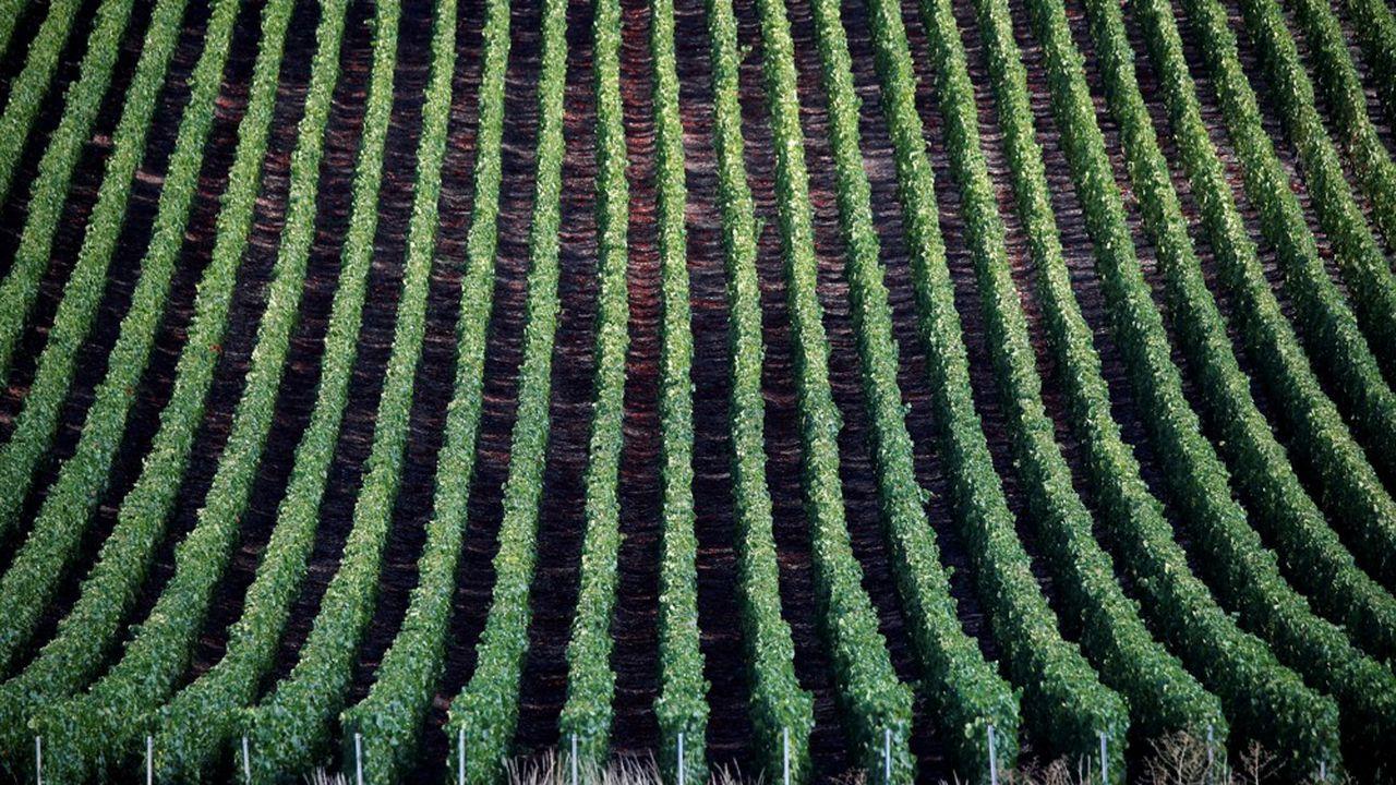 On peut détenir des hectares de vigne via un groupement foncier viticole (GFV).