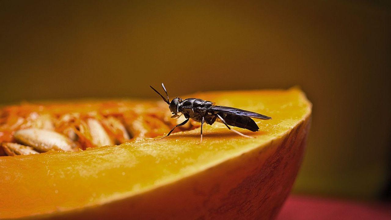 L'une des vertus de la mouche soldat noire est de pouvoir se nourrir de coproduits de l'industrie agroalimentaire.