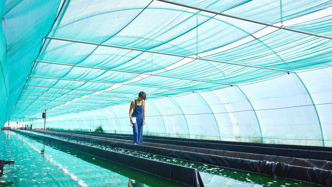 La spiruline n'est ni une algue, ni marine, mais une cyanobactérie qui se développe dans une eau saumâtre, font valoir ses promoteurs.