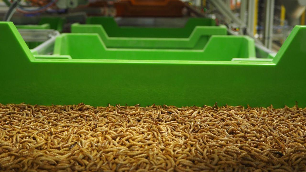 La spécialité d'Ÿnsect est d'élever le ver Molitor afin de proposer une alternative de protéine dans l'alimentation des animaux d'élevage comme la truite ou la crevette.