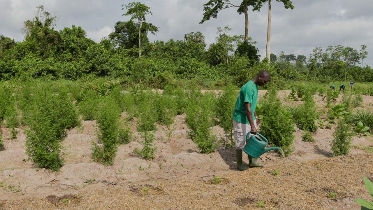Le monde rural, comme ici en Côte d'Ivoire, risque d'être touché par la faim en raison du Covid-19, selon le Fida.