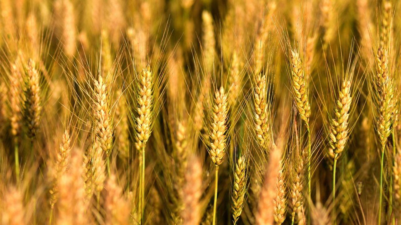 Champs de blé au coucher du soleil dans le département de l'Isère.
