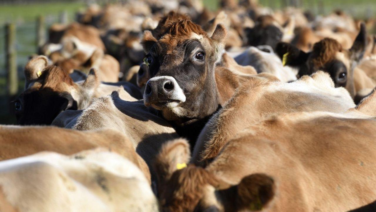 L'élevage bovin et ovin, premier poste exportateur de la Nouvelle-Zélande, compte pour 20% des émissions de C02 du pays.