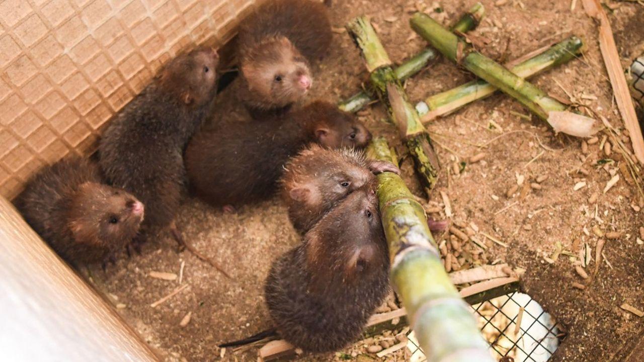Les rats des bambous sont élevés pour leur chair en Chine.