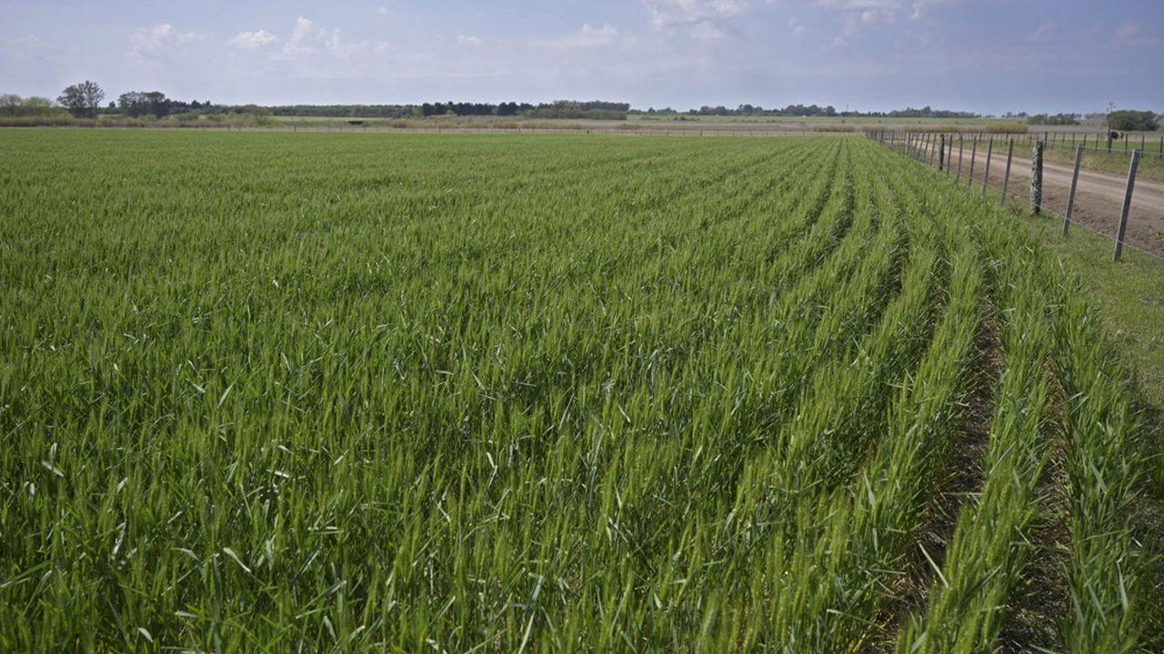 L'Argentine est le quatrième exportateur de blé au monde.