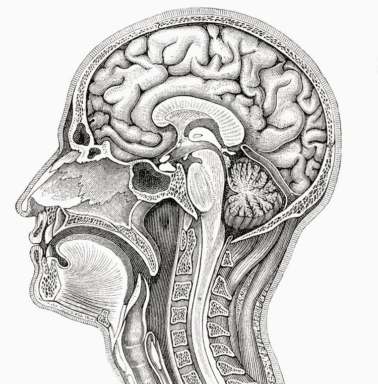 Coupe transversale de la tête et du cou, encyclopédie Meyers de 1924.
