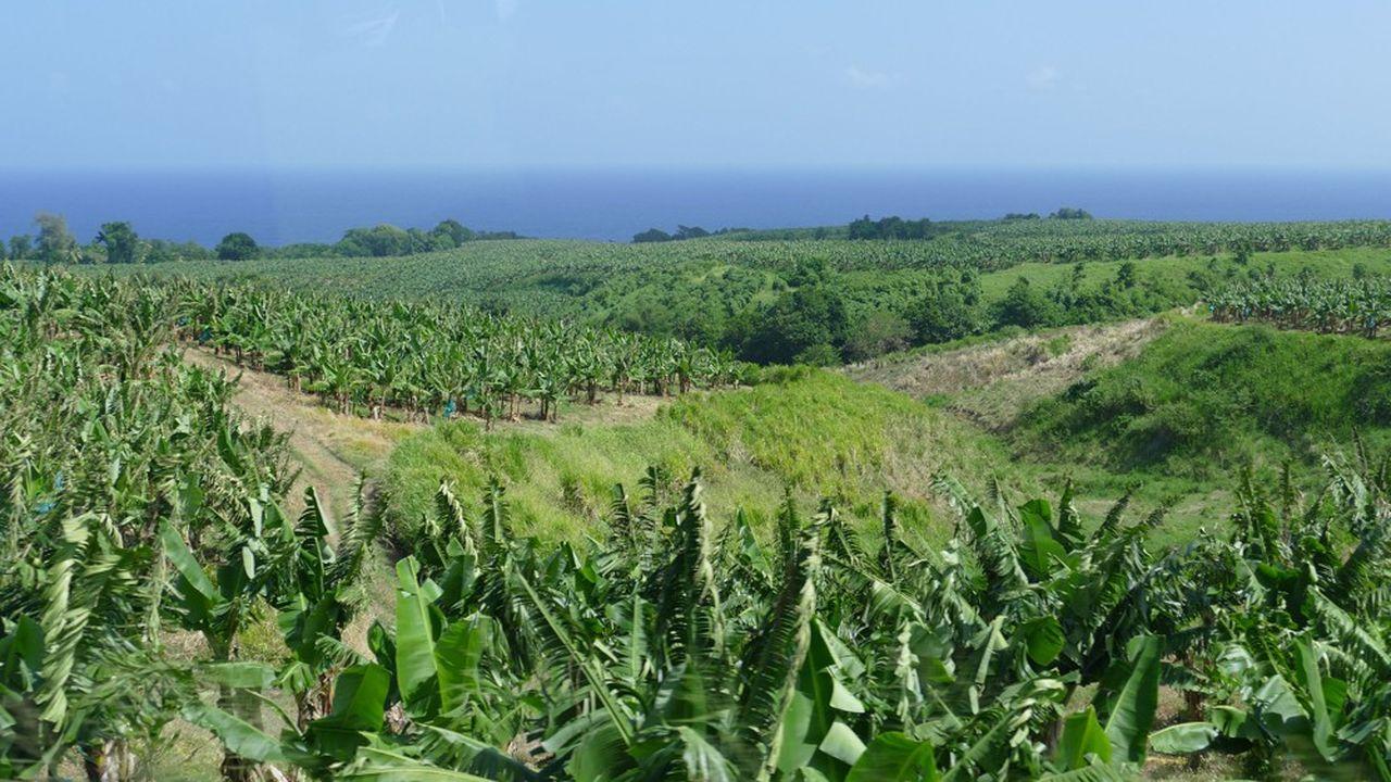 Une bananeraie en Martinique. L'un des axes de France Relance en outre-mer concerne la transformation de l'agriculture, et notamment sa diversification pour une souveraineté agricole à horizon 2030.